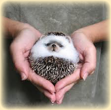 Hedgehogimages3